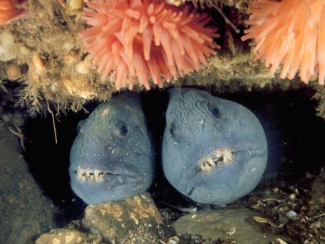 deep-sea03-wolffish-pair_18163_600x450