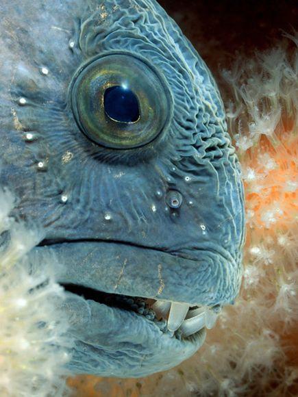 deep-sea10-wolffish_18170_600x450